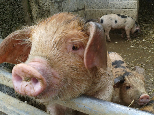 Acorn Piglets 2014 at Lower Hearson Farm Self Catering Holiday Cottages North Devon