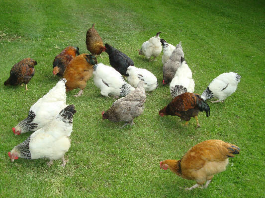 Chickens at Lower Hearson Farm Self Catering Holiday Cottages North Devon