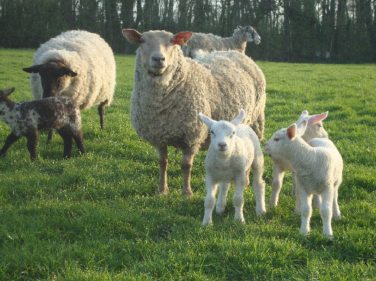 Herbie and Lambs at Lower Hearson Farm Self Catering Holiday Cottages North Devon