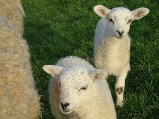 Lambs at Lower Hearson Farm Self Catering Holiday Cottages North Devon