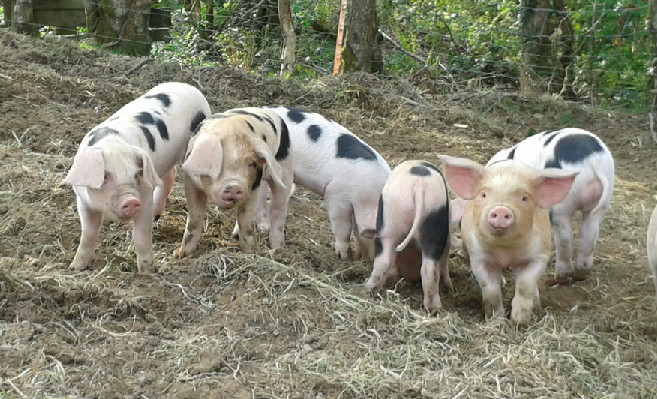 Maple Piglets 2014 at Lower Hearson Farm Self Catering Holiday Cottages North Devon