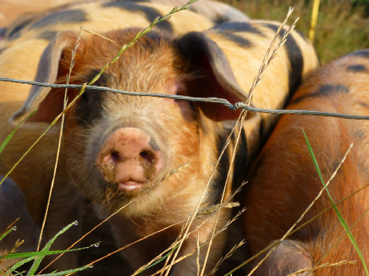 Piglet 2013 at Lower Hearson Farm Self Catering Holiday Cottages North Devon