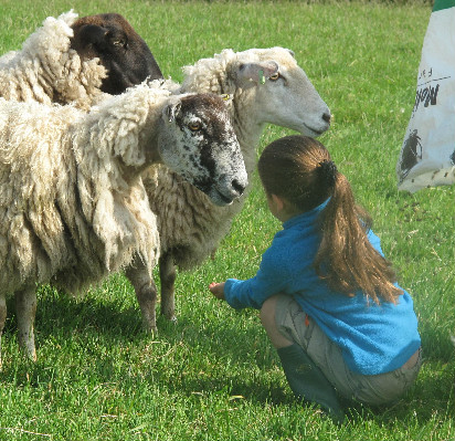 Sheep Feeding 2014 at Lower Hearson Farm Self Catering Holiday Cottages North Devon