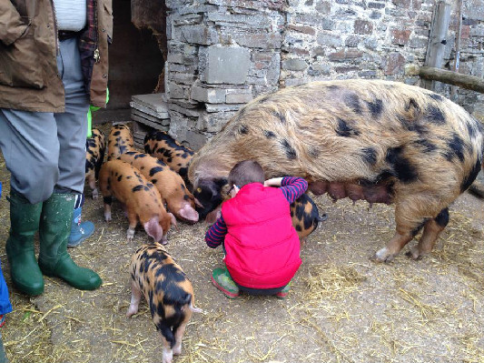 piglet socialising at Lower Hearson Farm Self Catering Holiday Cottages North Devon