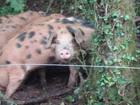 woodland piglets at Lower Hearson Farm Self Catering Holiday Cottages North Devon