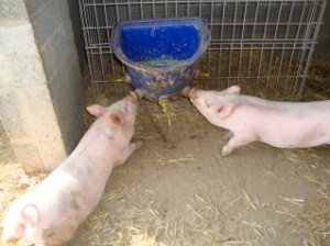 Farm Self Catering Holiday Cottage Animal Feeding North Devon